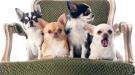 Il popolo dei cagnolini da salotto